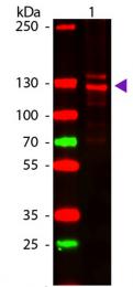 R1038 - Collagen type I
