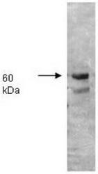 R1052PS - Alkaline phosphatase / ALPI / IAP