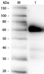 R1053PS - Alkaline phosphatase / ALPI / IAP