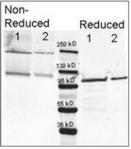 R1064PS - Beta-galactosidase tag
