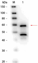 R1066BS - Bilirubin oxidase