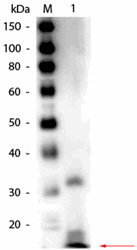 R1109BS - RNASE1