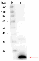 R1109PS - RNASE1
