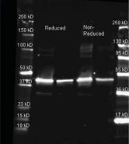 R1110PS - Sarcosine oxidase