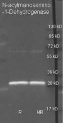 R1155PS - N-acetyl-D-mannosamine dehydrogenase
