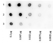 RA100HRP - Protein A
