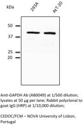 AB0049-500 - GAPDH