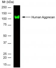 SM1353P - Aggrecan