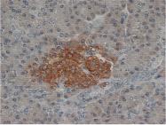 SM1461P - Synaptophysin / SYP