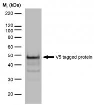 SM1691X - Pk (V5) Epitope Tag (GKPIPNPLLGLDST)