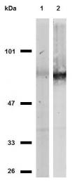 SM3024P - CD44