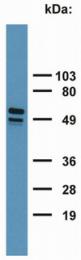 SM3046P - Cytokeratin 7