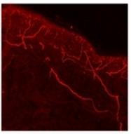SP5265P - TRPV1 / Vanilloid receptor 1