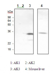 SM6029 - Adenylate kinase 3 / AK3