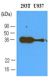 AM03126PU-N - CD279 / PD1