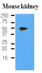AM03203PU-S - Podoplanin