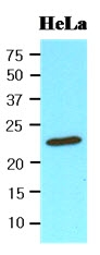 AM09116PU-N - Peroxiredoxin-1 / PRDX1