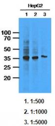 AM09389PU-N - AKR1C1 / DHH1