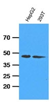 AM09394PU-N - Adenosine kinase