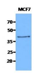 AM50040PU-N - Cytokeratin 19