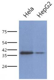 AM50069PU-N - PCBP1