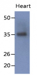 AM50079PU-N - Delta-sarcoglycan
