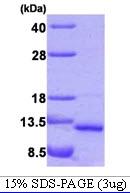 AR09171PU-L - VAMP-5 / Myobrevin