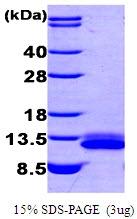 AR09203PU-L - CXCL12 / SDF1