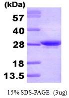 AR09244PU-L - Apolipoprotein A I / APO AI