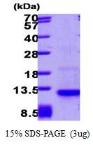 AR09261PU-L - Eotaxin-3 / CCL26