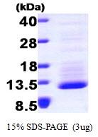 AR09263PU-L - Fractalkine / CX3CL1