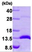 AR09268PU-L - Galectin-1