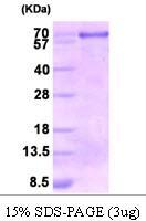 AR09271PU-L - Calnexin