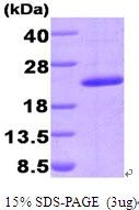 AR09314PU-L - Cyclophilin G / PPIG