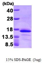 AR09319PU-L - Glutaredoxin-2 / GLRX2