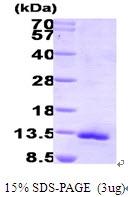 AR09330PU-L - Eotaxin / CCL11
