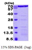AR09345PU-L - Annexin A6 / ANXA6