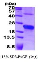AR09367PU-L - Syndecan-4 (SDC4)