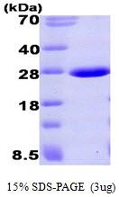 AR09378PU-L - Aprataxin