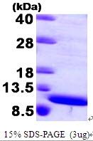 AR09424PU-L - S100A8 / Calgranulin-A / MRP8