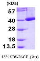 AR09469PU-L - Mu-crystallin homolog