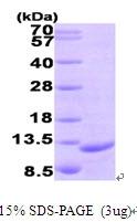 AR09517PU-L - MIP3-beta / CCL19