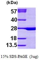 AR09534PU-L - Calcium-binding protein p22