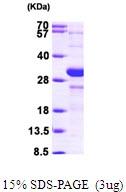 AR09585PU-L - HIF1A / HIF1 alpha