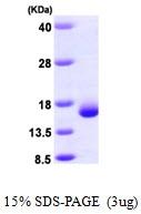 AR09618PU-L - Galectin-2