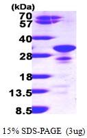 AR09631PU-L - Secretogranin-5 (SCG5)
