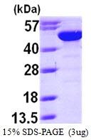 AR09703PU-L - Bleomycin hydrolase