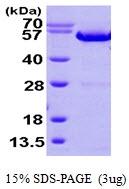 AR09710PU-L - Annexin A11 / ANXA11