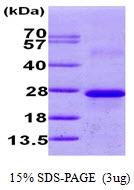 AR09711PU-N - Calneuron-1