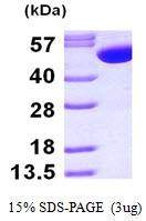 AR09715PU-L - Glutathione synthetase
